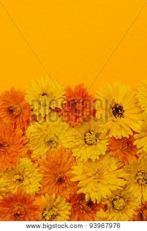 Fresh medicinal calendula or marigold flowers arranged on orange background with copy space