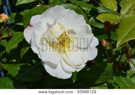 Old English Whit Rose