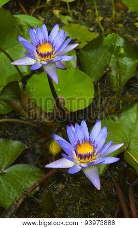 Blue waterlily flower Latin name Nymphaea sp.