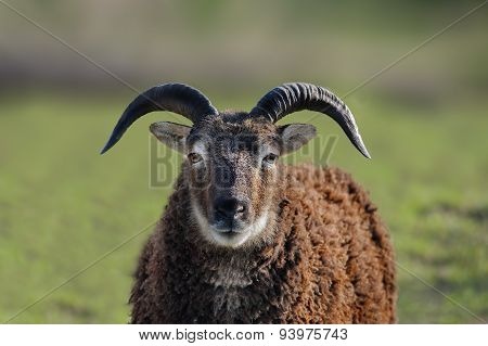 A Black Ram in a field, close up