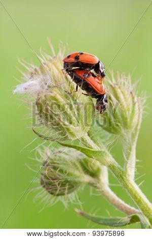 Ladybug Mating