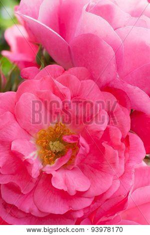Heidetraum Rose