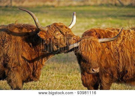 A pair of Highlnd cows