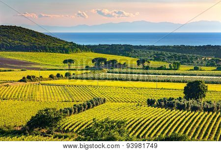 Bolgheri And Castagneto Vineyard And Elba Island. Maremma Tuscany, Italy