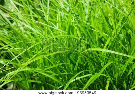 beautiful green grass. natural background