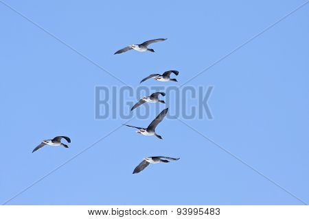 A group, flock of Greylag Geese