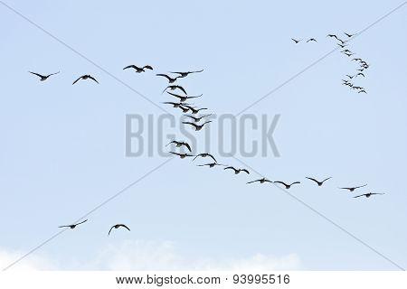 Groups, flocks of Greylag Geese