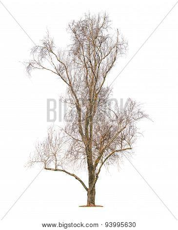 Big Leafless Tree