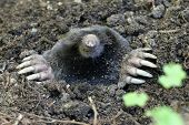 picture of mole  - A Townsend - JPG