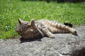 pic of licking  - Tabby female cat licking outdoors in a sunny day - JPG