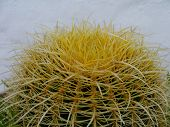 picture of mother law  - Mother in laws cushion or Golden ball barrel cactus  - JPG