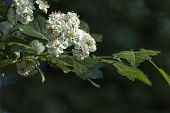 foto of stamen  - Hawthorn or Crataegus monogyna branch with flowers  of white petals and rose stamen - JPG