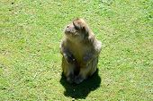 foto of ape  - Barbary Ape sitting on grass and looking up - JPG