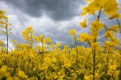 stock photo of rape  - summer storm clouds above a rape seed field - JPG