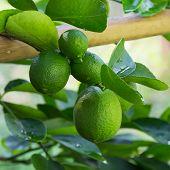 pic of lime  - green lemon  - JPG