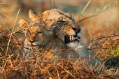 stock photo of lioness  - Angry mum - JPG