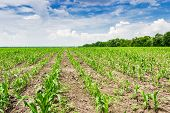 picture of corn stalk  - Field with plantings of young corn against the sky with cumulus clouds trees and farm buildings on the horizon - JPG