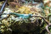 picture of lizards  - green lizard posing on a rock in the zoo - JPG