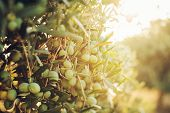 foto of olive trees  - Olives on olive tree in autumn. Season nature image