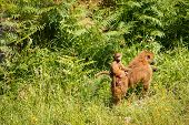foto of guinea  - Young Guinea baboon in a state of freedom - JPG