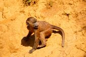 pic of guinea  - Young Guinea baboon in a state of freedom - JPG
