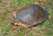 stock photo of turtle shell  - Florida soft shell turtle is climbing on the grass - JPG