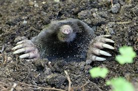 stock photo of mole  - A Townsend - JPG