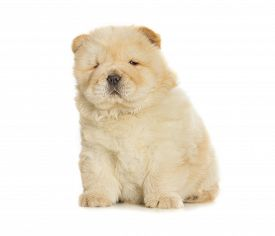 picture of chow-chow  - fluffy chow - JPG