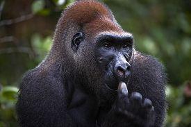 picture of male-domination  - Portrait of male Western Lowland Gorilla - JPG