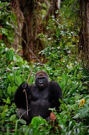 picture of gorilla  - Portrait of male Western Lowland Gorilla - JPG