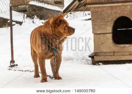 Guard dog on a chain in the winter in the village. Karpaty Ukraine