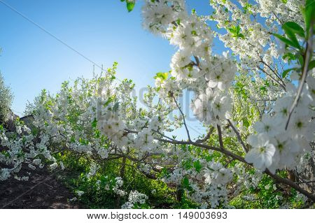 Apple blossoms and green leaves with blue sky on the background
