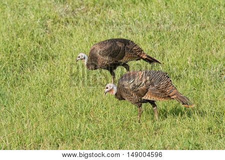 Wild turkeys foraging on a sunny grass field on a fall morning