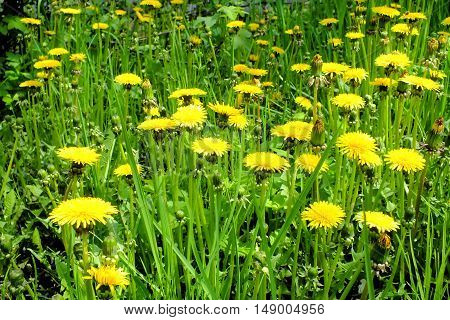 Photo of dandelions on a background of green grass. Picture taken in May 2015.