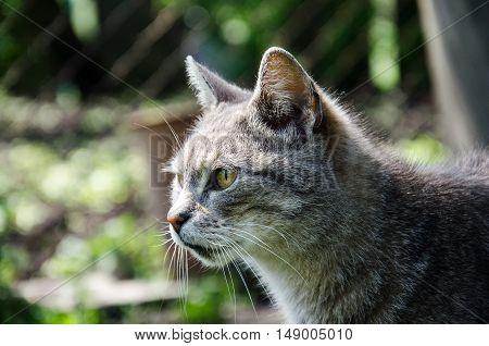 beautiful home cat , gray cat looks ahead