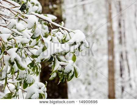 Rhododendron Leaves Covered In Snow