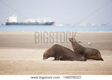 Two Seals Move Along The Beach