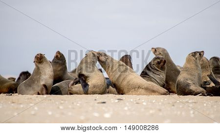 Colony Of Seals On The Beach
