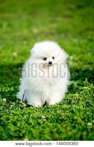 Beautiful Spitz dog white is standing on the green grass