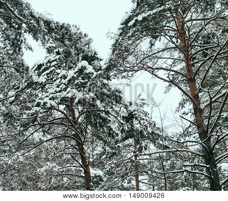 beautiful trees in snow in winter forest