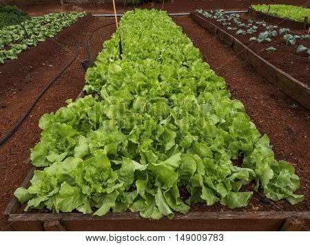 Lettuce plantation vegetable farm food agriculture organic field