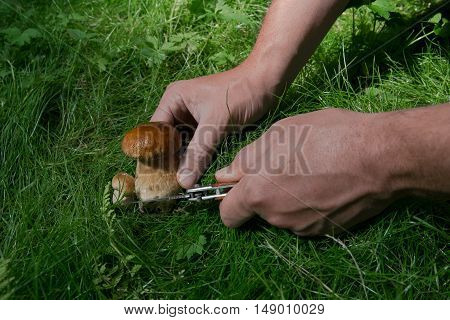 small mushroom cut with a knife on a green glade