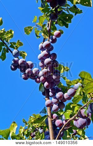 Branches of plum tree with lots of ripe fruits. Blue sky on the background