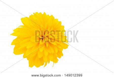 yellow chrysanthemum isolated on a white background