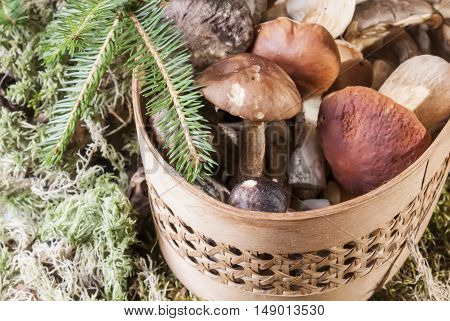 Basket with mushrooms and fir branch. Forest nature background