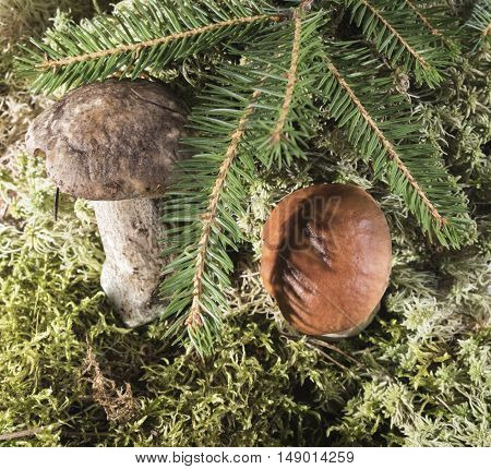 Two growing in the moss of the forest mushroom.