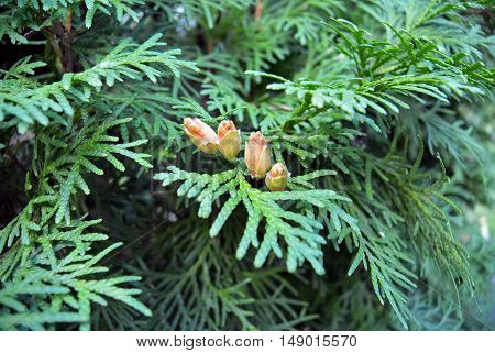 Thuja's green cone on a branch. Selective focus