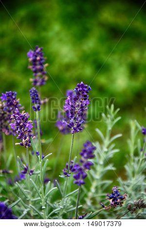 lavender flower in green garden beautiful summer