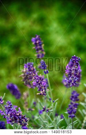 lavender flower in green garden summer beautiful