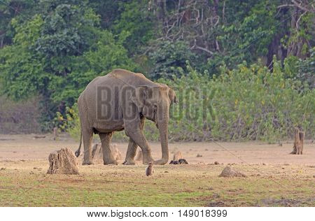 Elephant on Dusty Flood Plain of the Kabini River in Nagarhole National Park in India